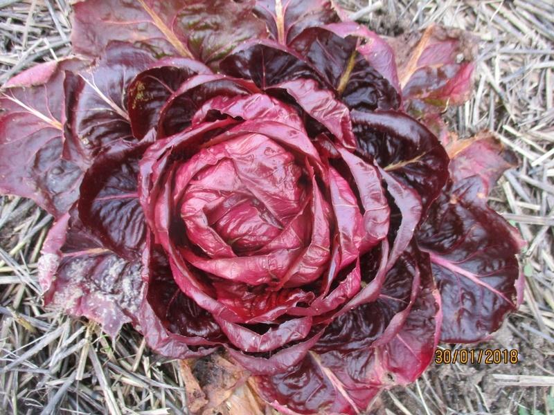 Que cultivez-vous comme salade d'hiver ? Janvie62