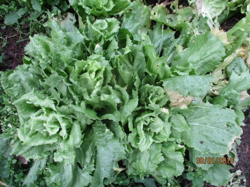 Que cultivez-vous comme salade d'hiver ? Janvie63