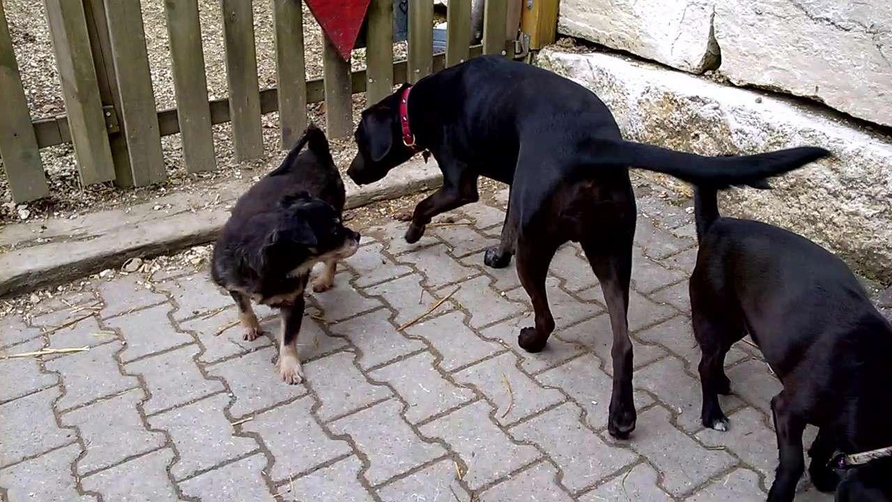 PAMS (BRAHMS) -  x griffon 12 ans - Asso  Reve de Tina - adopté par Françoise (filleul de frimousse) Wp_20131