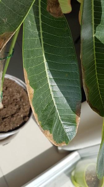 Taches sur les feuilles de mon frangipanier Frangi10
