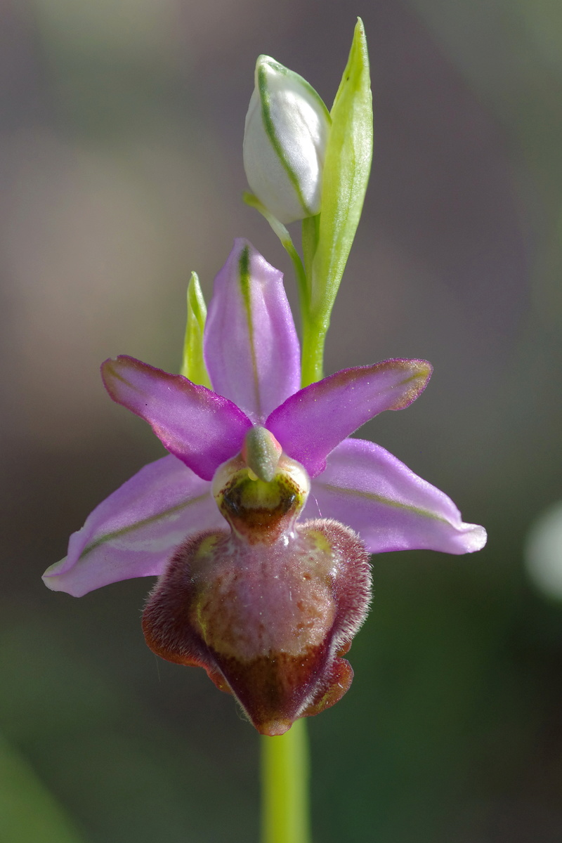 ophrys aveyronensis et vitorica Ophrys16