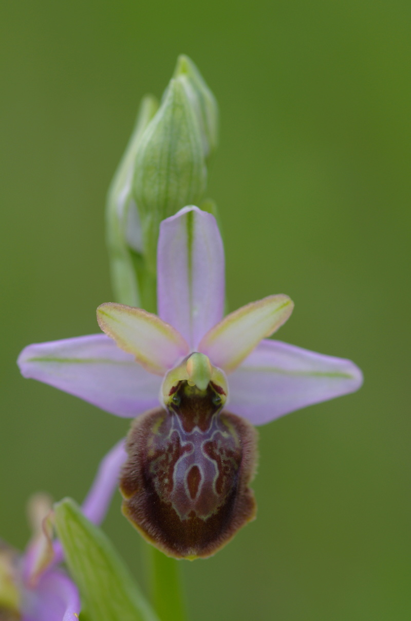 ophrys aveyronensis et vitorica Ophrys19