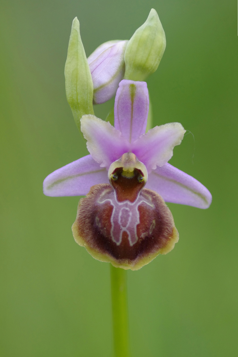 ophrys aveyronensis et vitorica Ophrys28