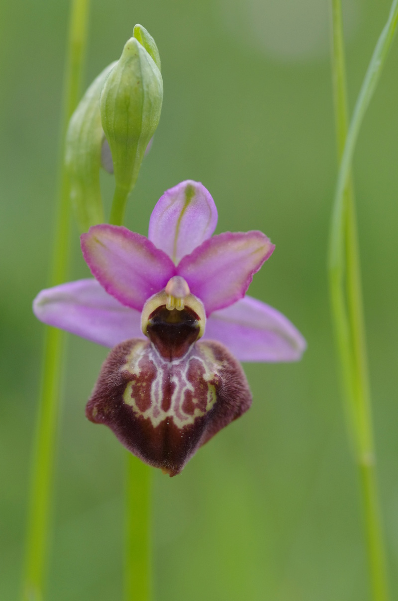 ophrys aveyronensis et vitorica Ophrys30