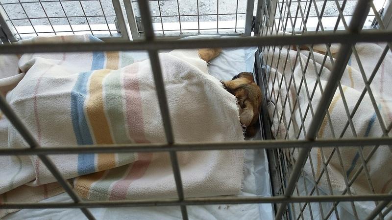 Campagne de stérilisation des chiens errants - PROVADIA - avril 2018 Bg_18_13