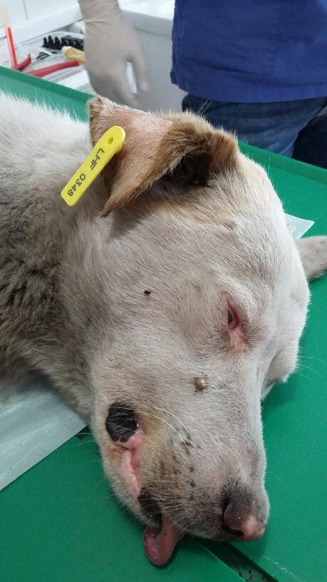 Campagne de stérilisation des chiens errants - PROVADIA - avril 2018 Bg_pro13