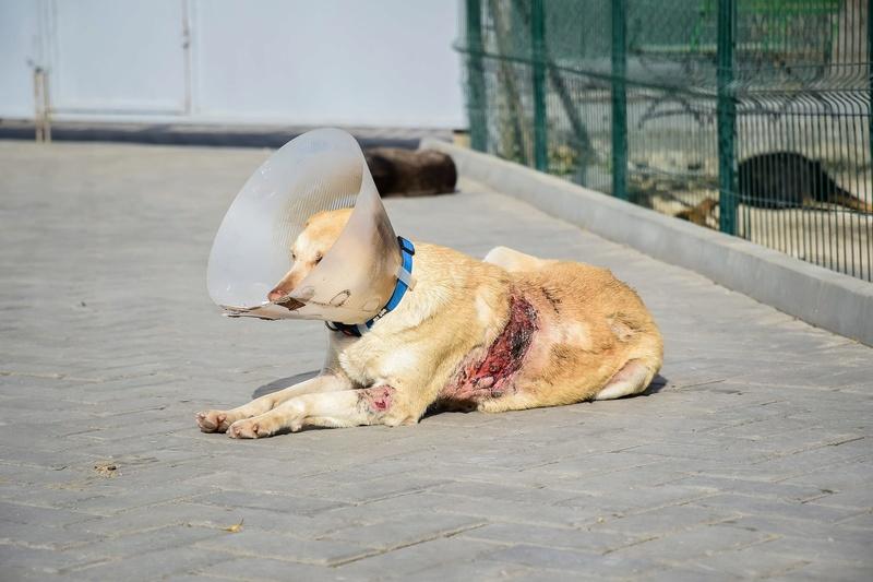 Campagne de stérilisation des chiens errants - PROVADIA - avril 2018 Chien_10