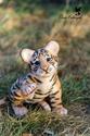 -> Chroniques tigresques d'un Kalthu \**--**/ - Page 3 Tigron10