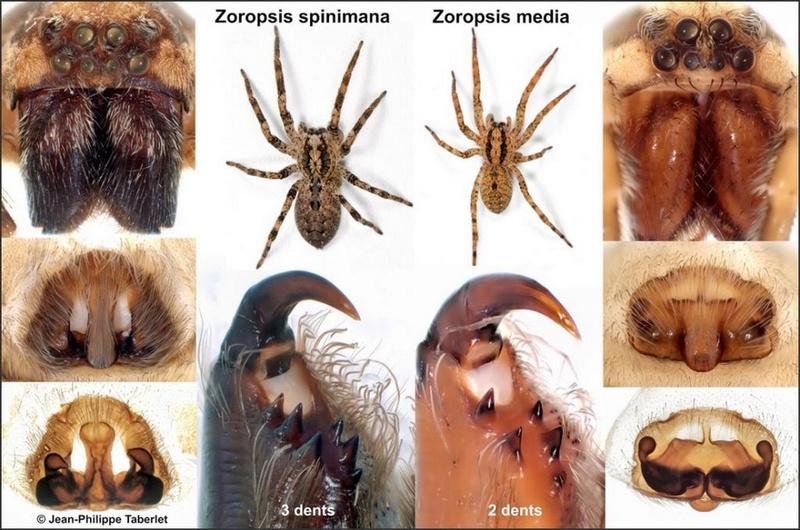 Comparatif : Zoropsis spinimana vs Z.media Compar10