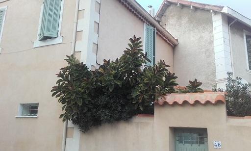 Ficus elastica - caoutchouc 20180110