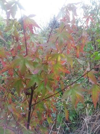 Aruncus - histoire de mon jardin Acer_p10