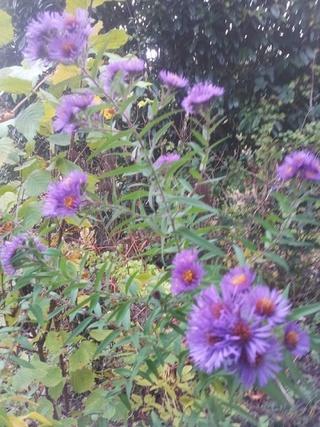 Aruncus - histoire de mon jardin Asters10