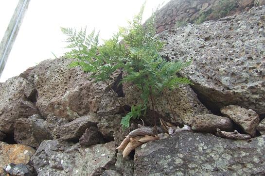Davallia - fougère patte de lapin Dscf0813