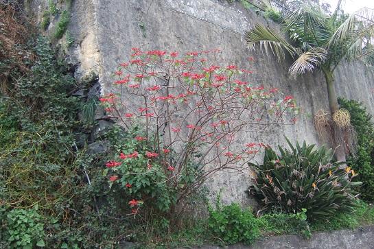Euphorbia pulcherrima (= Poinsettia pulcherrima) - étoile de noël - Page 2 Dscf0910
