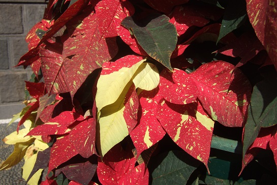 Euphorbia pulcherrima (= Poinsettia pulcherrima) - étoile de noël - Page 2 Dscf1513
