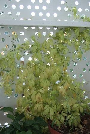 Gynostemma pentaphyllum - thé de l'immortalité Dscf2810