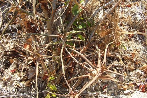 Aloe striatula - Page 2 Dscf2815