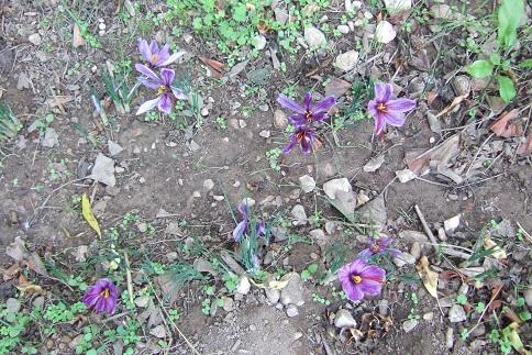 Crocus sativus - culture du vrai safran  - Page 3 Dscf2818