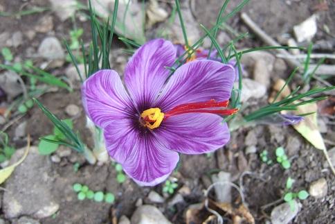 Crocus sativus - culture du vrai safran  - Page 3 Dscf2821
