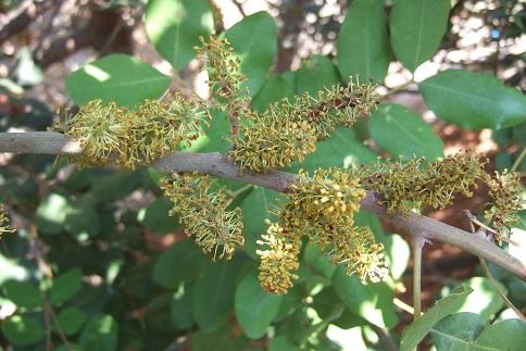 Ceratonia siliqua - caroubier Dscf2828