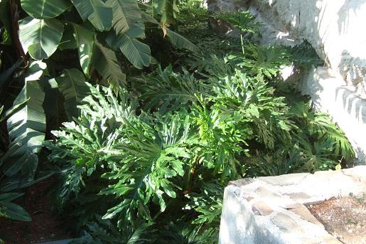 Philodendron bipinnatifidum - selloum - Page 2 Dscf2831