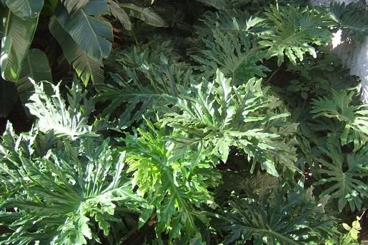Philodendron bipinnatifidum - selloum - Page 2 Dscf2833