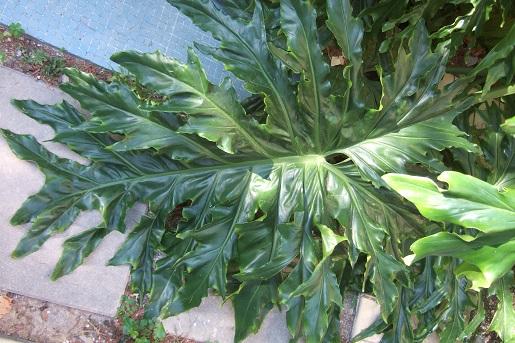 Philodendron bipinnatifidum - selloum - Page 2 Dscf2834