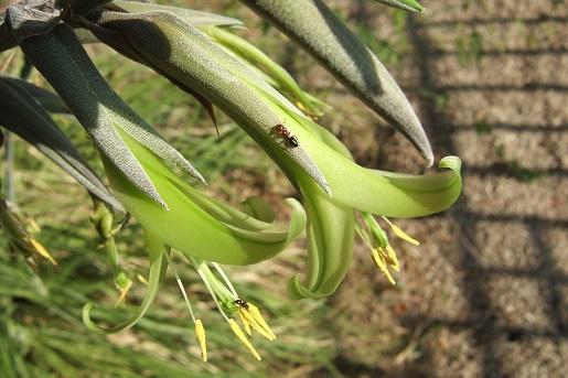 Puya mirabilis - Page 2 Dscf2839