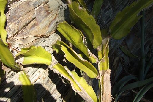 Hylocereus undatus - pitaya Dscf2920
