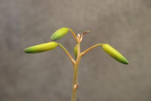 Aloe bakeri Dscf2922