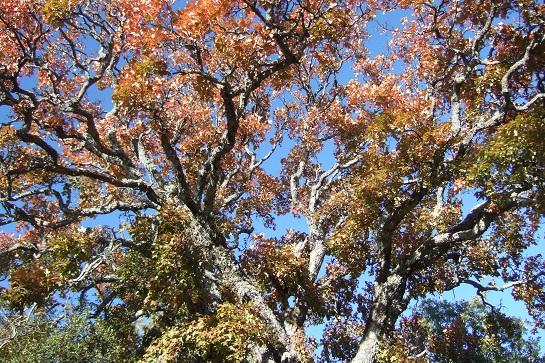Acer monspessulanum - érable de Montpellier - Page 2 Dscf2923
