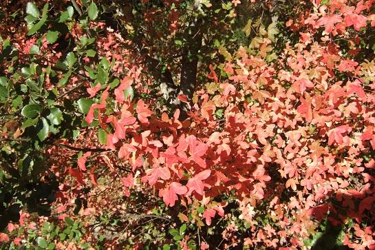 Acer monspessulanum - érable de Montpellier - Page 2 Dscf2924