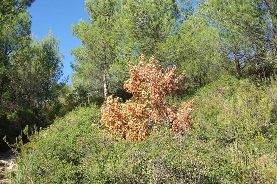 Acer monspessulanum - érable de Montpellier - Page 2 Dscf2926