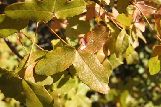 Acer monspessulanum - érable de Montpellier - Page 2 Dscf2927