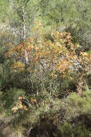 Pistacia terebinthus - pistachier térébinthe Dscf2933
