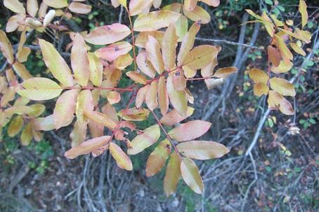 Pistacia terebinthus - pistachier térébinthe Dscf2934