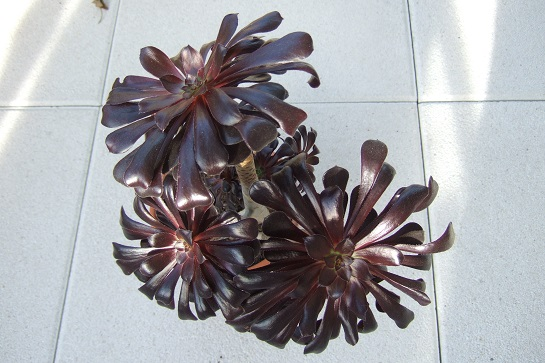 Aeonium arboreum 'Zwartkop' Dscf2937