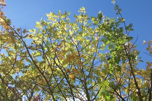 Sorbus domestica - cormier Dscf2939