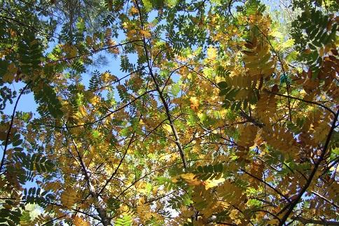 Sorbus domestica - cormier Dscf2940
