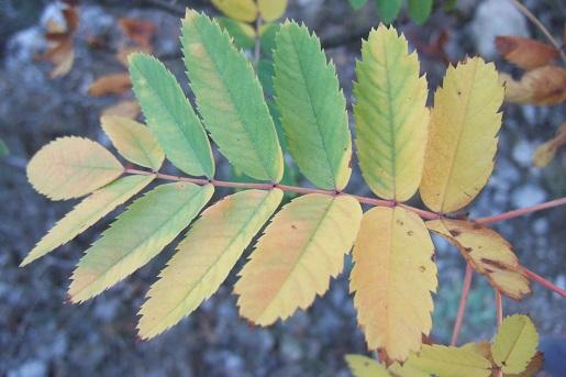 Sorbus domestica - cormier Dscf2942