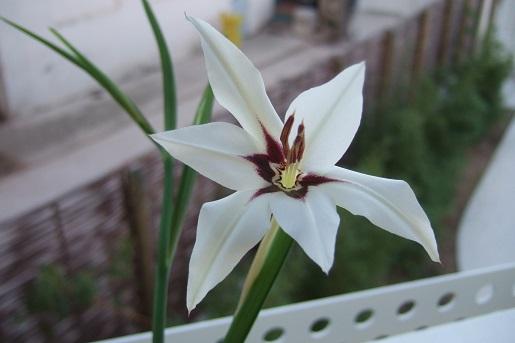 Gladiolus murielae (= Acidanthera murielae) - glaïeul d'Abyssinie Dscf3011