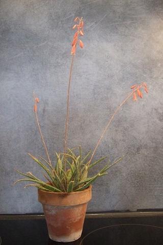 Aloe bellatula  Dscf3018