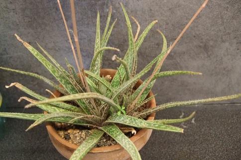 Aloe bellatula  Dscf3019