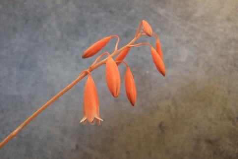 Aloe bellatula  Dscf3020