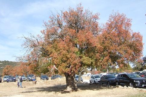 Acer monspessulanum - érable de Montpellier - Page 3 Dscf3038