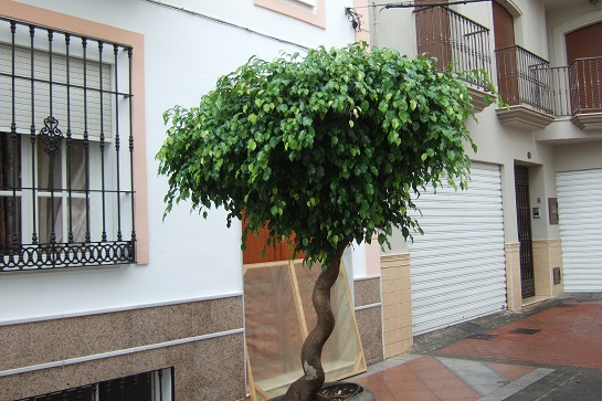 Ficus benjamina Dscf3046