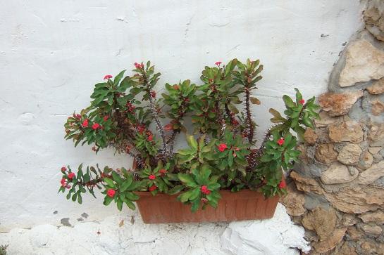 Euphorbia millii - Page 3 Dscf3049