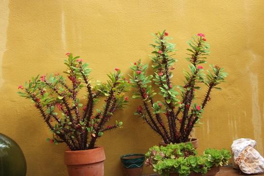 Euphorbia millii - Page 3 Dscf3050
