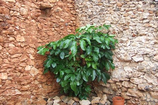 Schefflera actinophylla Dscf3051