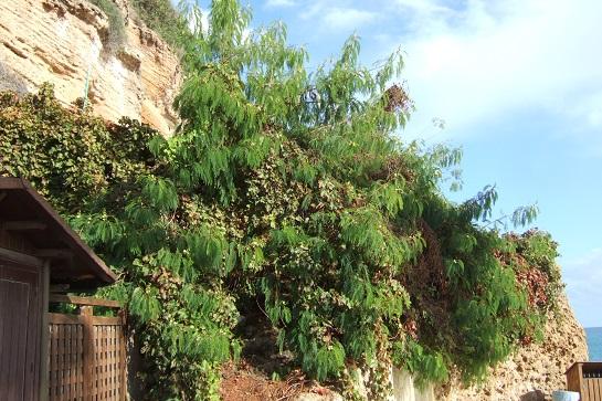 Leucaena leucocephala Dscf3110